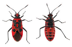 Bottom and top views of Scentless plant bug Royalty Free Stock Photography