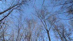 Bottom of the tops of trees without leaves in early spring. Circular panorama of trees against the blue sky stock video footage