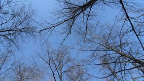 Bottom of the tops of trees without leaves in early spring. Circular panorama of trees against the blue sky stock footage