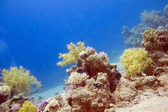 Bottom of tropical sea with colorful coral reef, underwater Royalty Free Stock Images
