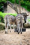 Zebra`s buttocks royalty free stock images
