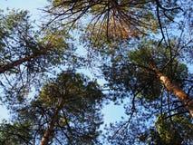 Bottom-up mening van de bovenkanten van lange pijnbomen die door de het plaatsen zon worden verlicht stock foto's