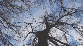 Bottom-up mening van een leafless boom tegen een blauwe hemel stock video