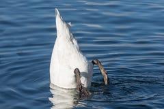 Bottom up swan, Zurich Lake, Switzerland Stock Images