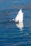 Bottom up swan, Zurich Lake, Switzerland Stock Photography