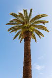 Bottom-up view of a beautiful palm tree. With blue sunny sky stock images