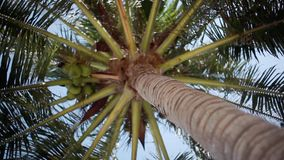 Bottom up view of a beautiful palm tree with blue sunny sky in windy day. 1920x1080. Bottom-up view of a beautiful palm tree with blue sunny sky stock video footage