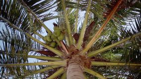 Bottom up view of a beautiful palm tree with coconuts on the blue sky on the background. hd. 1920x1080. Bottom-up view of a beautiful palm tree with blue sunny stock video footage