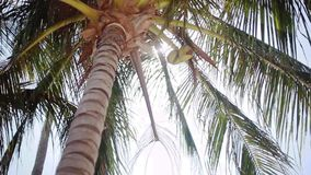 Bottom-up view of a beautiful palm tree with coconuts on blue sunny sky on the background. 1920x1080. hd. Bottom-up view of a beautiful palm tree with blue sunny stock footage