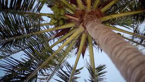 Bottom up view of a beautiful palm tree with coconuts on blue sunny sky on the background. changes focus to trunk. Bottom-up view of a beautiful palm tree with stock footage