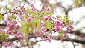Bottom up view of the pink flowers of fruit tree stock video