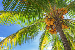 Bottom-up view of a tall palm tree with lots ripe  Stock Photo