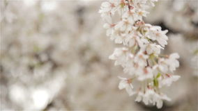 Bottom up view of the white flowers of fruit tree stock video footage
