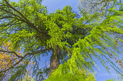Bottom view on the big European larch tree. Royalty Free Stock Photos