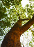 Bottom view of big tree. Bottom view of  big tree in sunny day Stock Image