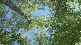 The bottom view on the birch wood against the background of the blue sky in sunny day.  stock footage