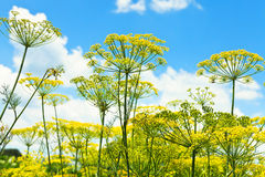 Bottom view of blooming dill herbs in garden. With blue sky background Royalty Free Stock Photos