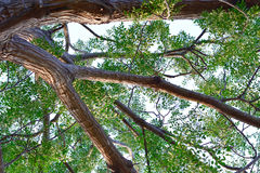 Bottom view of branch tree. On a day Royalty Free Stock Photography