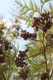 Bottom view of the branches of a coniferous tree with small cones through which the rays of the bright sun shine through royalty free stock images
