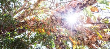 Bottom view of the branches of old tree at sunrise, fantastic tropical plants in the branches of ancient tree, bright morning sun stock images