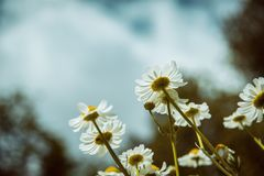 Bottom view of chamomile flowers. Bottom view of chamomile white flowers royalty free stock photo