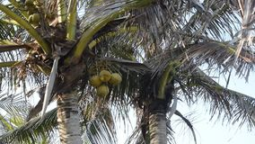 Bottom view of a coconut bunch on an palm tree in sunny dally light slightly moving by the ocean breeze wind. Bottom view of a coconut bunch on an palm tree in stock footage