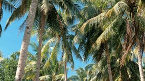 Bottom view of coconut palm trees forest in sunshine. Palm trees against a beautiful blue sky. Green palm trees on blue stock video footage