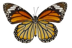 Bottom view of common tiger butterfly & x28; Danaus genutia & x29; on whit. E with clipping path royalty free stock images