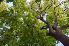 Bottom view of a crown of a huge green tree Royalty Free Stock Photo
