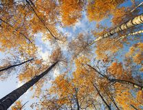Natural background bottom view of the crowns and tops of birch trees with bright yellow and orange leaves stretch to the blue. Bottom view of the crowns and tops stock photography