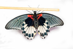 Bottom view of female Great mormon Butterfly Stock Photo