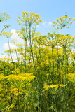 Bottom view of flowering dill herbs in garden Royalty Free Stock Photography