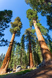 Bottom view on giant pine trees Royalty Free Stock Photography