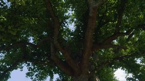 Bottom view of gigantic tulip tree