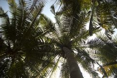 Bottom view of green leaves on coconut tree royalty free stock photo