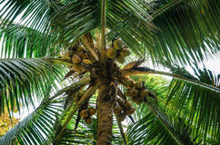 Bottom view of green palm trees with coconut Stock Photos