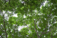 Bottom view group of green leaf  of tree in tropical forest Royalty Free Stock Photos