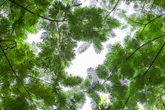 Bottom view group of green leaf  of tree in tropical forest Royalty Free Stock Images
