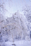 Bottom view on hanging willow branches on ice in snow. Royalty Free Stock Photos