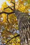 Bottom view of the high strain deciduous tree. Stock Image