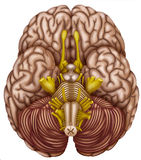 Bottom view of the human brain Royalty Free Stock Photography