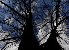 Bottom view on large branching tree without leaves over cloudy sky. View from below on the conjoined branching trees on blue sky background royalty free stock image