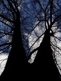 View from below on the conjoined branching trees on blue sky background. Bottom view on large branching tree without leaves over cloudy sky stock photo