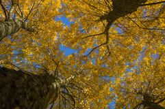 Bottom view of large trees with yellow leaves Royalty Free Stock Photography