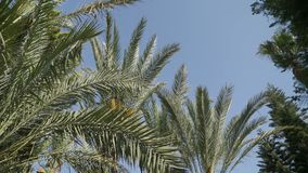 Bottom view, movement between palm trees, blue sky. Ultra High Definition, Ultra HD, UHD, 4K, 2160P, 4096x2160. Bottom view, movement between palm trees, blue stock video