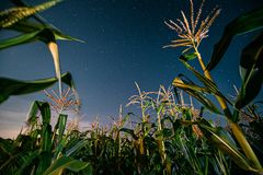 Bottom View Of Night Starry Sky From Green Maize Corn Field Plantation In Summer Agricultural Season. Night Stars Above
