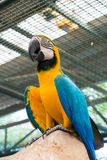 Bottom View Of Blue-and-yellow Macaw Or Ara Ararauna Stock Photos