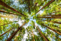Bottom view of old trees in evergreen primeval forest royalty free stock image