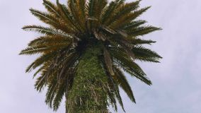 Bottom view of palm with grey sky in background. Bottom view of big palm stock video footage
