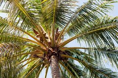 Bottom view of a palm tree with coconuts Stock Photography